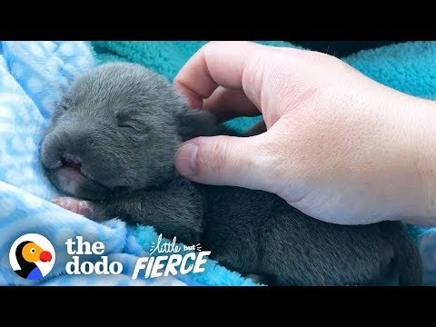 Dwarf Pittie Puppy with No Nose Grows Up To Be An Adorable Terror   The Dodo Little But Fierce