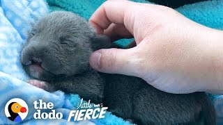 Dwarf Pittie Puppy with No Nose Grows Up To Be An Adorable Terror | The Dodo Little But Fierce