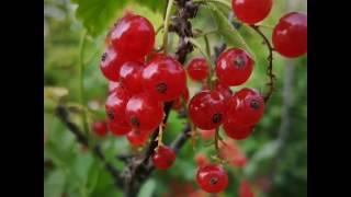 Ягоды. Фотографии аппетитных  ягод .