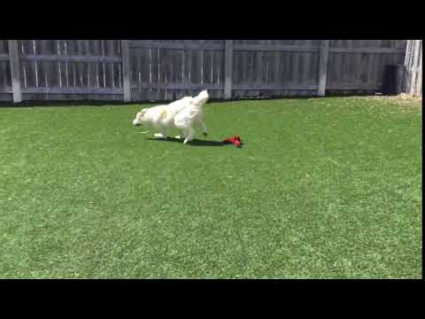 Meet Ursa a Great Pyrenees currently available for adoption! 4/3/2019 1:19:49 PM
