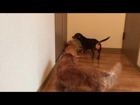 今日も仲良く遊ぶ犬と猫 A dog and a cat playing along well today『保護猫るる らら物語』