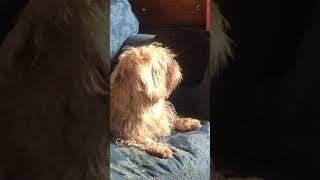 Dandie Dinmont terrier VS flies (2)