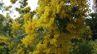 Ментон. Цветет мимоза.