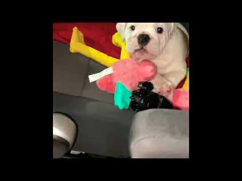 Meet Thanos! English bulldog puppy