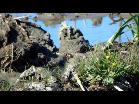 Anthus spinoletta, Leziria Vila Franca de Xira 14/03/2019