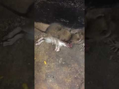 Rat eats another rat in NYC Subway - YouTube
