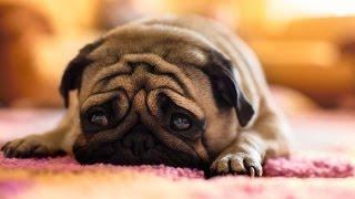 Маленькие собаки   5 выпуск   Породы собак