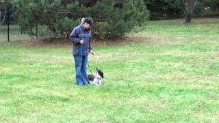 Cooper (german Shorthair Pointer) Dog Obedience Level Ii.