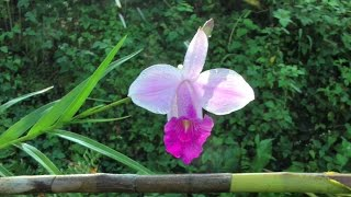 10-foot Tall Orchids and Other Hawaiian Flowers | Video