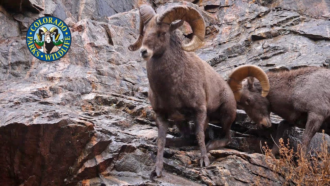 images for colorado bighorn sheep