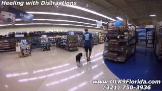 """Springer Spaniel """"brody"""" 2 Week Board And Train! Florida Dog Trainers."""