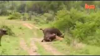 Bufalo, aslanı tek hamlede nakavt! [Buffalo attack lion]