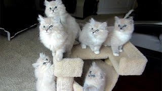 Eva's Ragdoll Kittens 9 Weeks Old