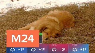 Смотреть видео Зоозащитники обвиняют владельцев приюта в массовой гибели собак - Москва 24 онлайн