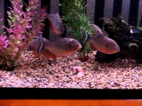 7 Piranhas Eat Mouse!
