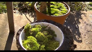 видео Сад мхов на даче: посадка и выращивание мха на участке