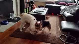 Corgi & Tibetan Terrier Duking It Out