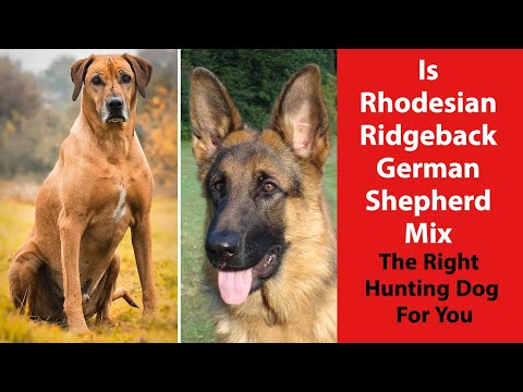 Is Rhodesian Ridgeback German Shepherd Mix The Right Hunting Dog For You