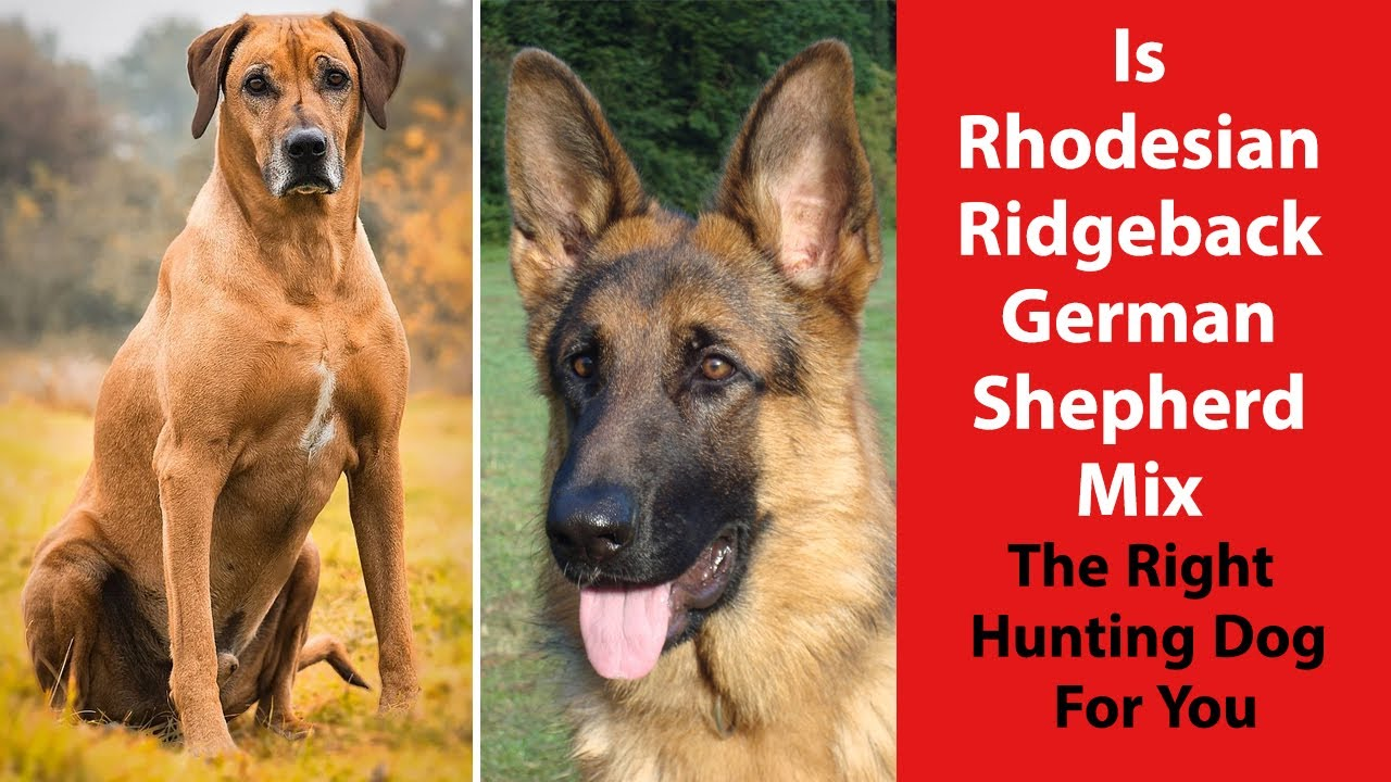 Is Rhodesian Ridgeback German Shepherd Mix The Right Hunting Dog For You Youtube