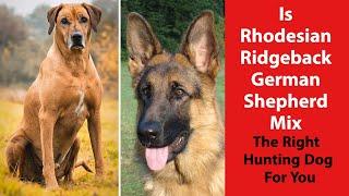 Is Rhodesian Ridgeback German Shepherd Mix the Right Hunting Dog for You