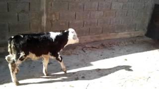 Abdelmounaim elevage des vaches laitiere au maroc