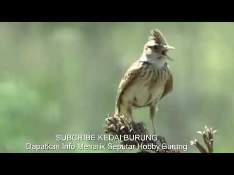 Burung Branjangan Gacor Dor Di Alam Liar - Kicauan Panjang Branjangan Liar