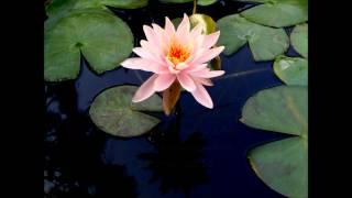 Lotus opening