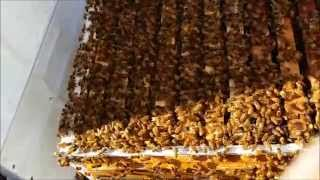 A mid WINTER bee colony SPLIT? Australian Backyard Beekeeping
