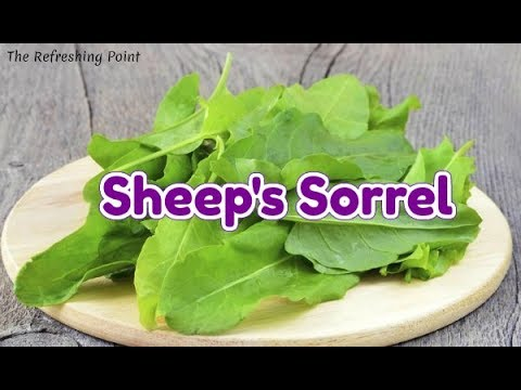 Sheep Sorrel Health Benefits Wild Sour Grass is a Powerful Herb Known to Treat Many Health Issues