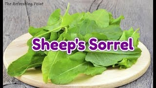 Sheep Sorrel Health Benefits - Wild Sour Grass is a Powerful Herb Known to Treat Many Health Issues