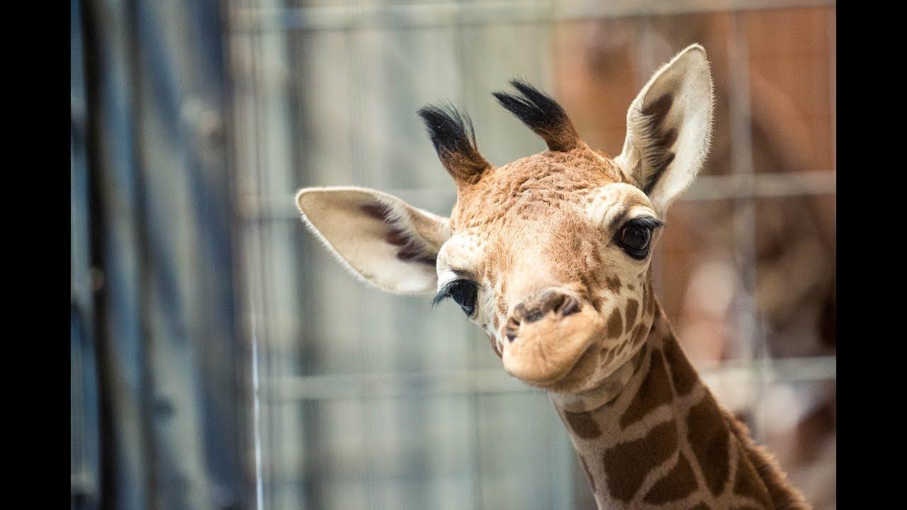 so kam das giraffenbaby dschibuto in der wilhelma auf