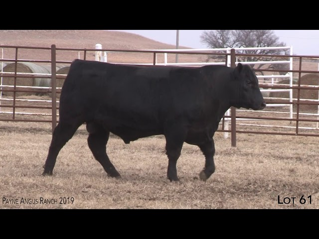 Payne Angus Ranch Lot 61