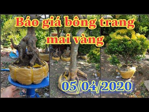 Báo giá bông trang,mai vàng 5/4/2020 Zalo 079 959 81 47  A.ngĩa, Q. ô môn TP cần Thơ