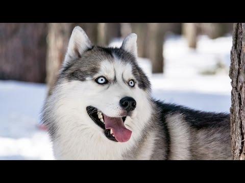 Siberian Husky Facts