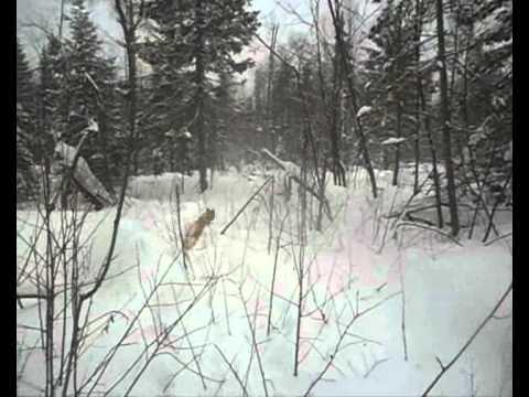 Охота на лося с бабой