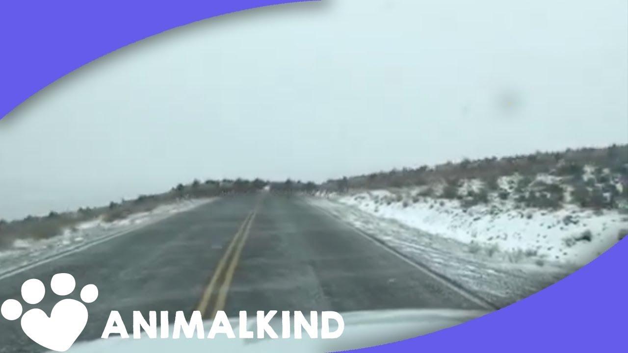 The largest elk stampede we've ever seen