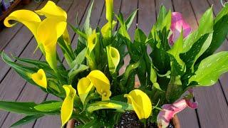 아름다운 신부의 부케 칼라 카라꽃 릴리 분갈이 하여 키우기《Repotting a beautiful wedding bouquet flower Calla lily in a pot》