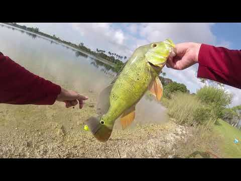 The Secret Bait For Peacock Bass In Miami