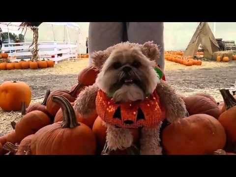 Munchkin the Teddy Bear goes to a pumpkin patch