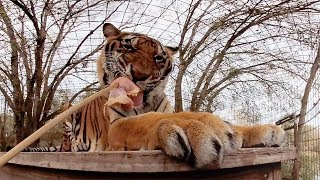 Big Cats Eating Snacks in 360!!