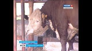 Один из ста лучших в мире быков обитает на Ставрополье