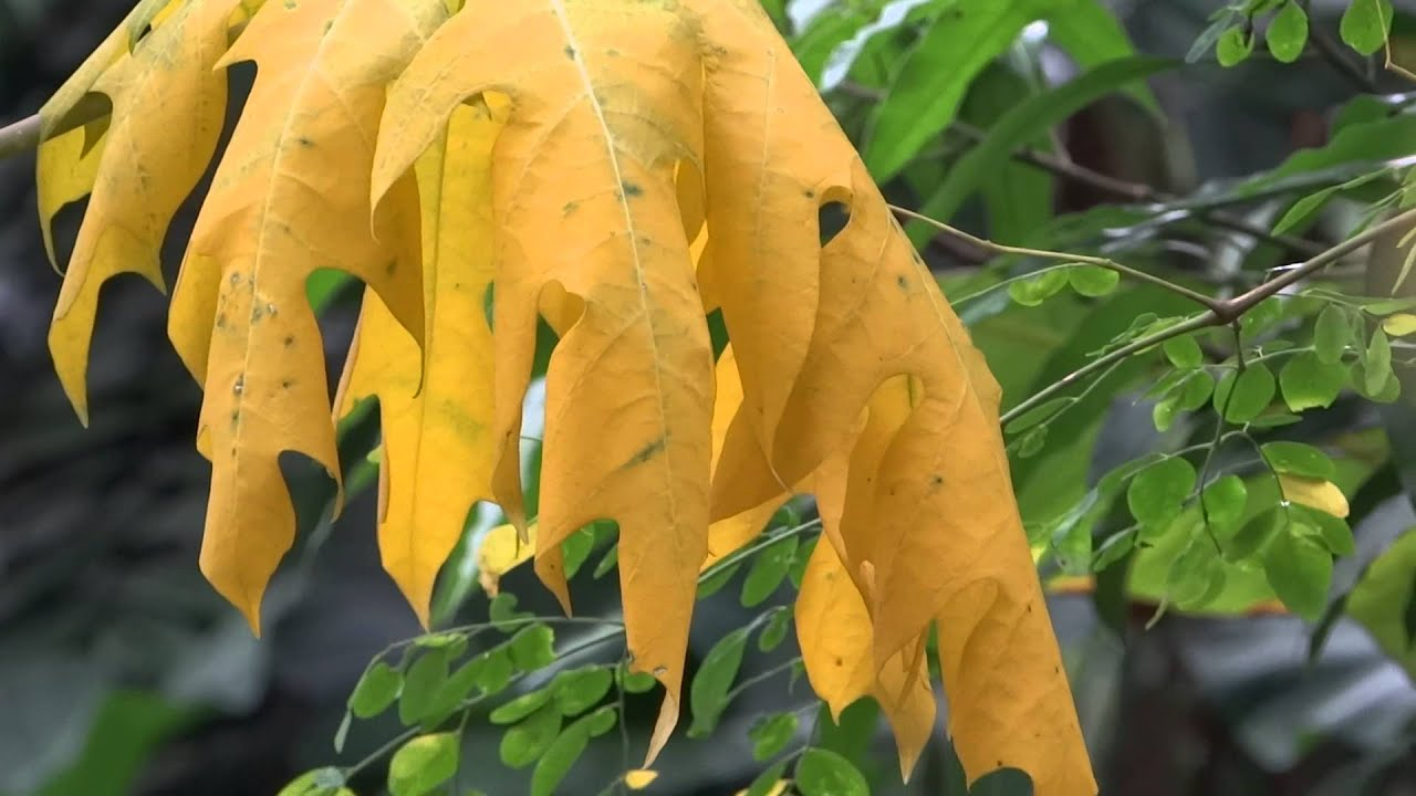 carica papaya yellow color leaf youtube