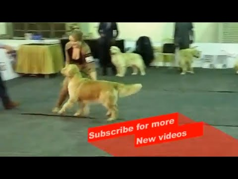 Wow ! Most Amazing dog breeds | Bangalore championship dog Show | Golden Retriever |