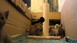Котята скотиш-страйт, лиловые