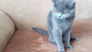 шотландская прямоухая кошка-Алиса!