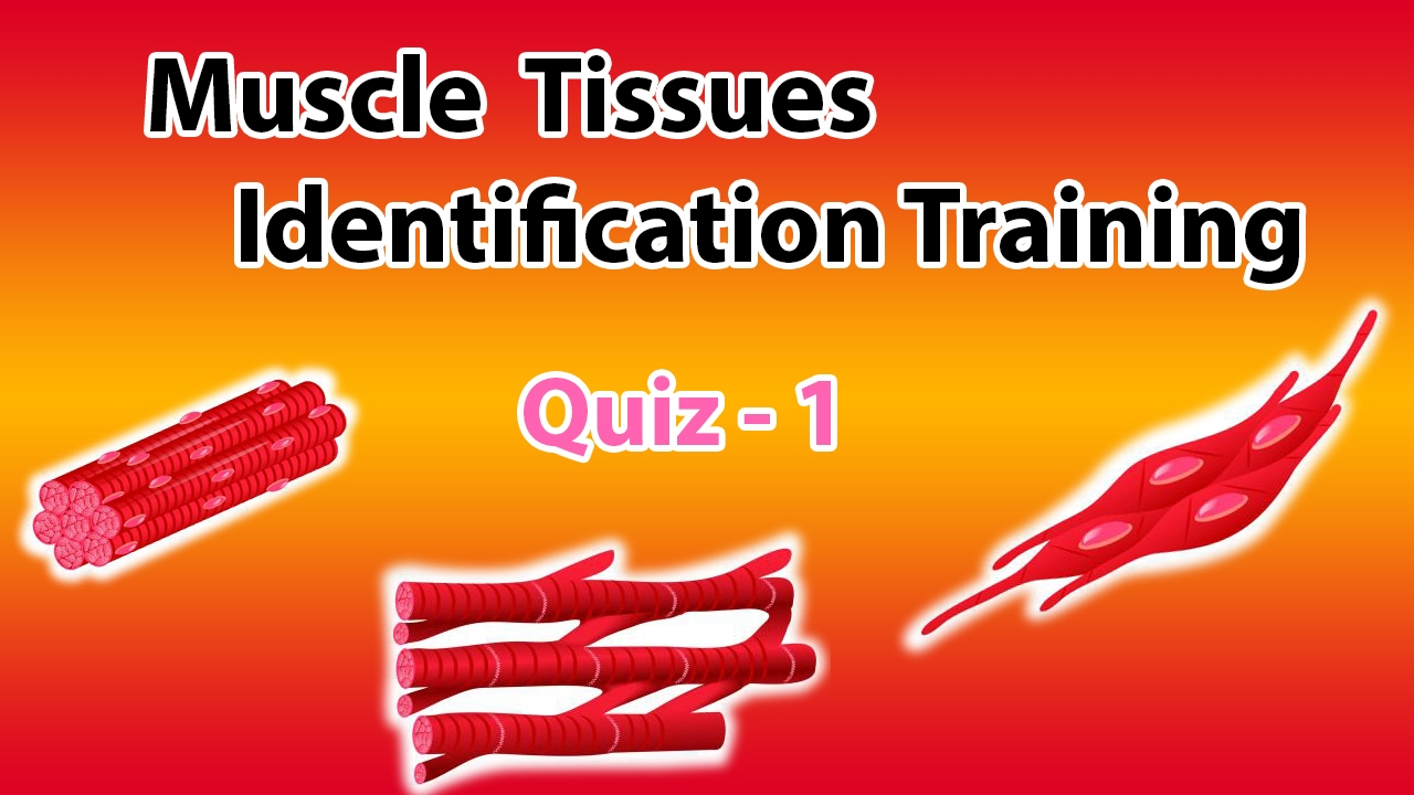 Muscle Tissue Identification Training Quiz 1 - YouTube