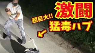 【決着!!】数十万円級のハブ酒が作れる超特大サイズのハブ捕獲成功!!ナンボになるのか?!(後編)in沖縄