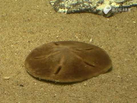 カシパンはエビを食べました the sand dollar eats a shrimp youtube