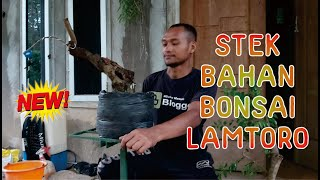 CARA STEK BAHAN BONSAI LAMTORO / KEMLADING ATAU PETAI CINA