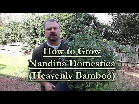How To Grow Nandina Domestica (Heavenly Bamboo)